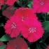 Dianthus Telstar Purple
